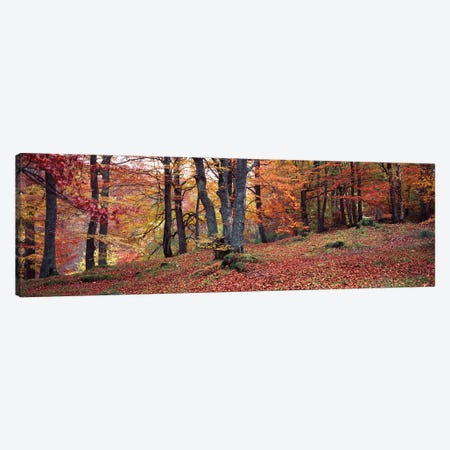 Beech Trees In Autumn, Aberfeldy, Perth And Kinross, Scotland Canvas Print #PIM14288} by Panoramic Images Canvas Print
