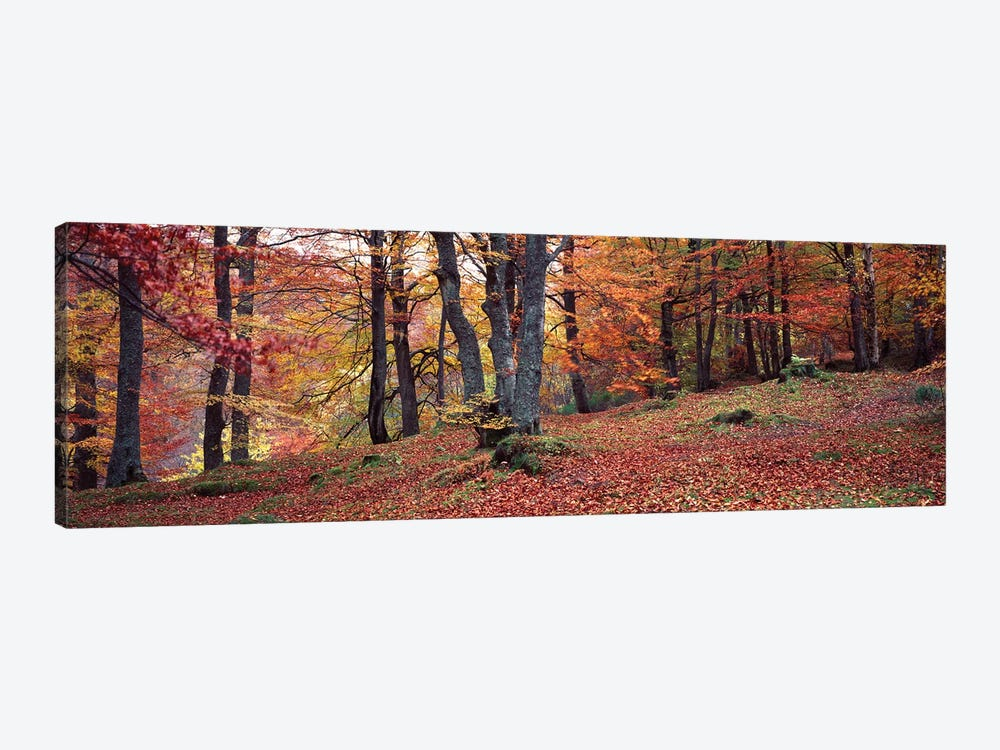 Beech Trees In Autumn, Aberfeldy, Perth And Kinross, Scotland by Panoramic Images 1-piece Art Print