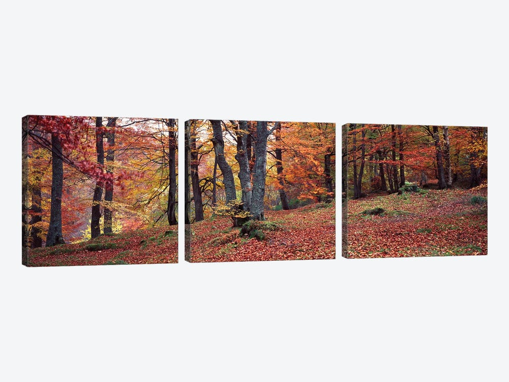 Beech Trees In Autumn, Aberfeldy, Perth And Kinross, Scotland by Panoramic Images 3-piece Art Print