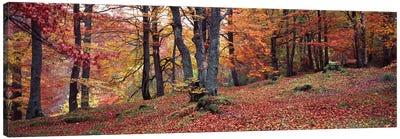 Beech Trees In Autumn, Aberfeldy, Perth And Kinross, Scotland Canvas Art Print
