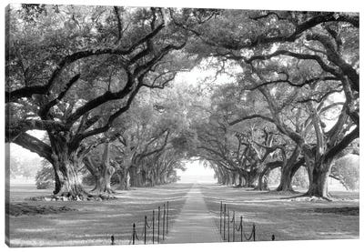 Brick Path Through Alley Of Oak Trees, Louisiana, New Orleans, USA (Black And White) I Canvas Art Print