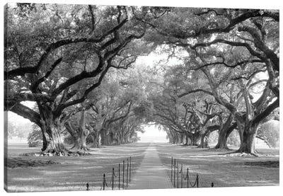 Brick Path Through Alley Of Oak Trees, Louisiana, New Orleans, USA (Black And White) I Canvas Art Print