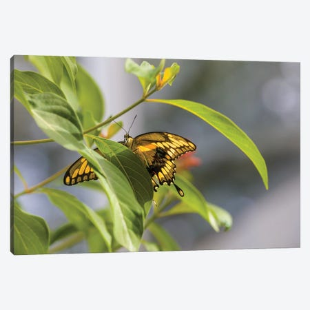 Butterfly Perched On Leaf, Florida, USA I Canvas Print #PIM14326} by Panoramic Images Canvas Art Print