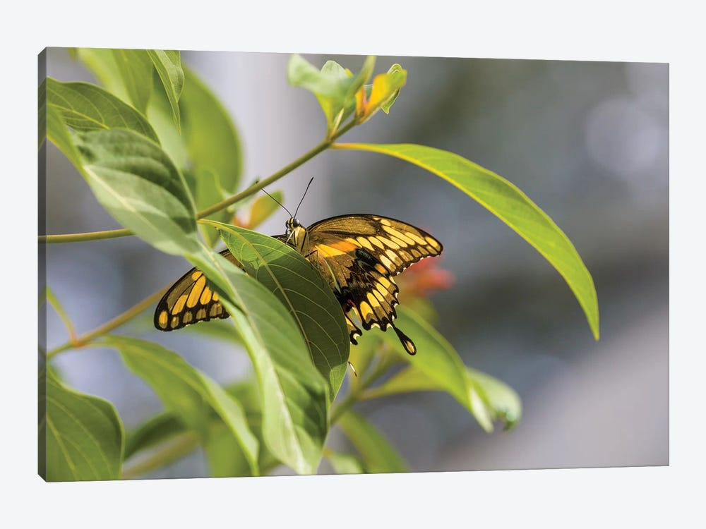 Butterfly Perched On Leaf, Florida, USA I by Panoramic Images 1-piece Canvas Artwork