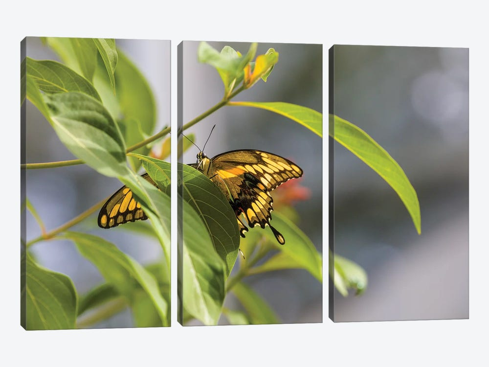 Butterfly Perched On Leaf, Florida, USA I by Panoramic Images 3-piece Canvas Art