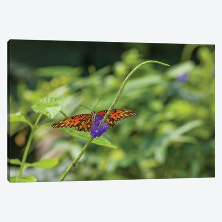 Butterfly Perched On Leaf, Florida, USA II Canvas Print #PIM14327} by Panoramic Images Art Print