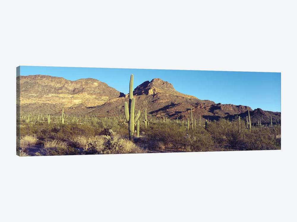 Cactus In A Desert, Organ Pipe Cactus National Park, Arizona, USA 1-piece Canvas Art