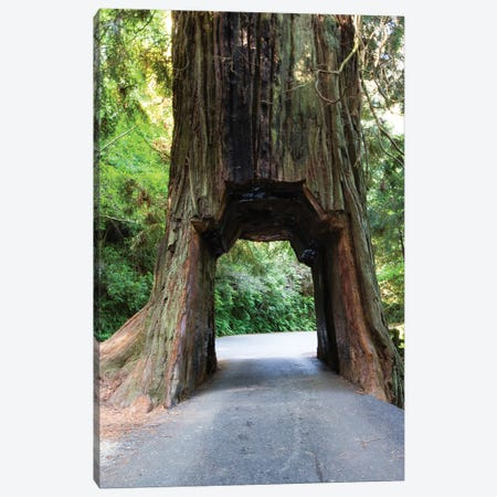 Chandelier Tree In Drive-Thru Tree Park, Redwood National And State Parks, California, USA Canvas Print #PIM14336} by Panoramic Images Canvas Art