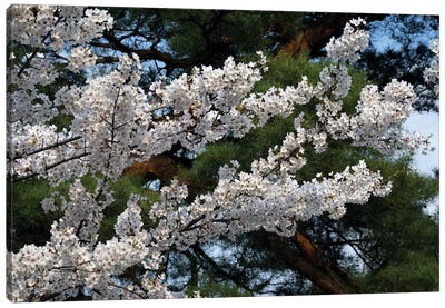 Cherry Blossom Flowers Against Pine Tree, Hiraizumi, Iwate Prefecture, Japan I Canvas Art Print