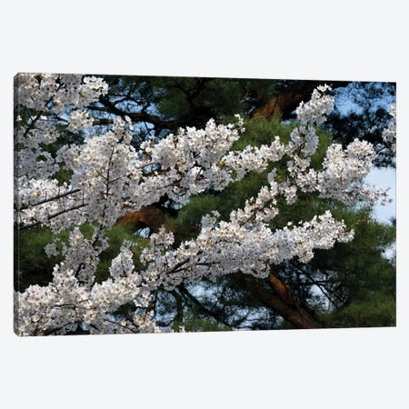 Cherry Blossom Flowers Against Pine Tree, Hiraizumi, Iwate Prefecture, Japan I Canvas Print #PIM14337} by Panoramic Images Canvas Wall Art