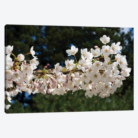 Cherry Blossom Flowers Against Pine Tree, Hiraizumi, Iwate Prefecture, Japan II Canvas Print #PIM14338} by Panoramic Images Canvas Art Print