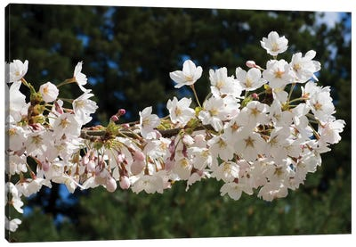 Cherry Blossom Flowers Against Pine Tree, Hiraizumi, Iwate Prefecture, Japan II Canvas Art Print