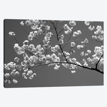 Cherry Blossoms Washington D.C. USA Canvas Print #PIM14342} by Panoramic Images Canvas Artwork