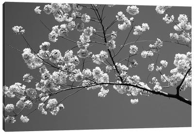 Cherry Blossoms Washington D.C. USA Canvas Art Print