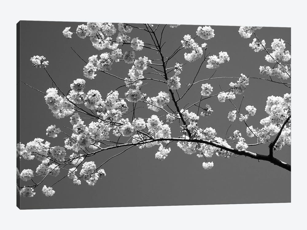 Cherry Blossoms Washington D.C. USA by Panoramic Images 1-piece Canvas Wall Art