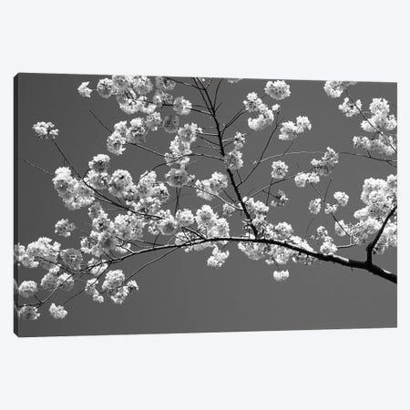 Cherry Blossoms Washington D.C. USA Canvas Print #PIM14342} by Panoramic Images Canvas Artwork