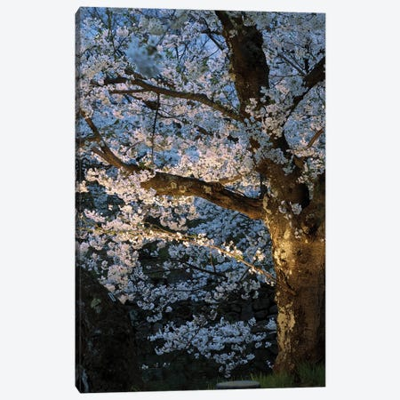Cherry Trees Lit Up At Night, Hirosaki Park, Hirosaki, Aomori Prefecture, Japan Canvas Print #PIM14345} by Panoramic Images Art Print
