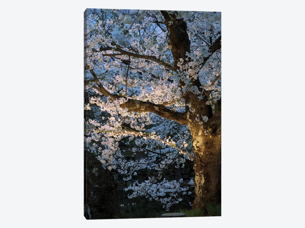 Cherry Trees Lit Up At Night, Hirosaki Park, Hirosaki, Aomori Prefecture, Japan by Panoramic Images 1-piece Canvas Art Print