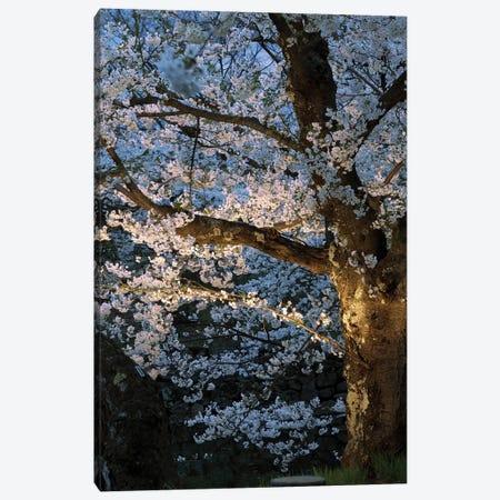 Cherry Trees Lit Up At Night, Hirosaki Park, Hirosaki, Aomori Prefecture, Japan Canvas Print #PIM14345} by Panoramic Images Art Print