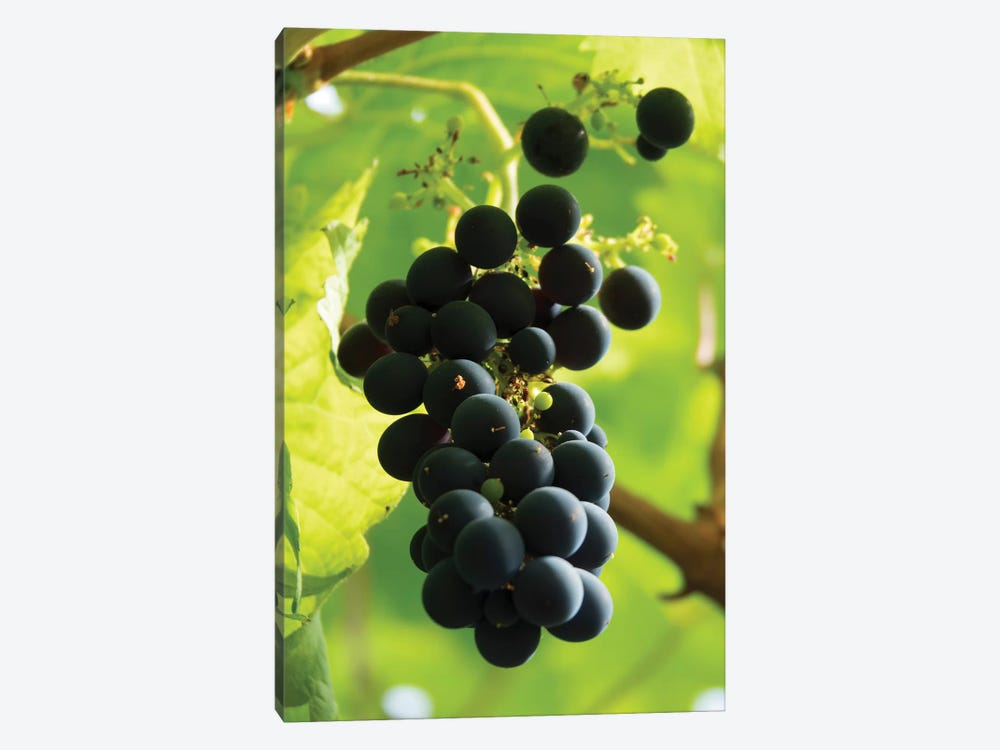 Close-Up Of A Bunch Of Grapes Hanging On Vine, Reykjavik, Iceland by Panoramic Images 1-piece Canvas Artwork