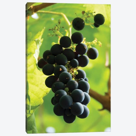 Close-Up Of A Bunch Of Grapes Hanging On Vine, Reykjavik, Iceland Canvas Print #PIM14355} by Panoramic Images Canvas Art