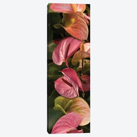 Close-Up Of Anthurium Plant Canvas Print #PIM14356} by Panoramic Images Canvas Wall Art