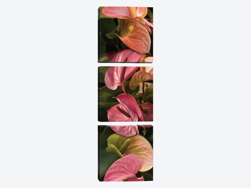 Close-Up Of Anthurium Plant by Panoramic Images 3-piece Canvas Print