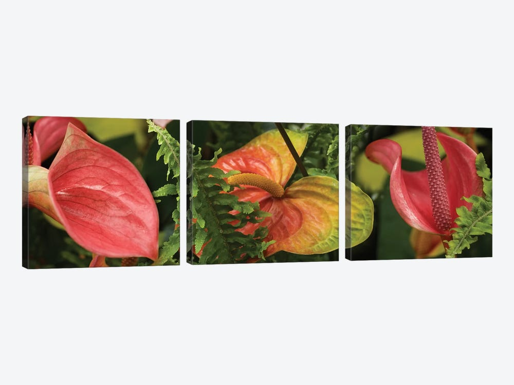 Close-Up Of Anthurium Plant And Fern Leaves by Panoramic Images 3-piece Canvas Artwork