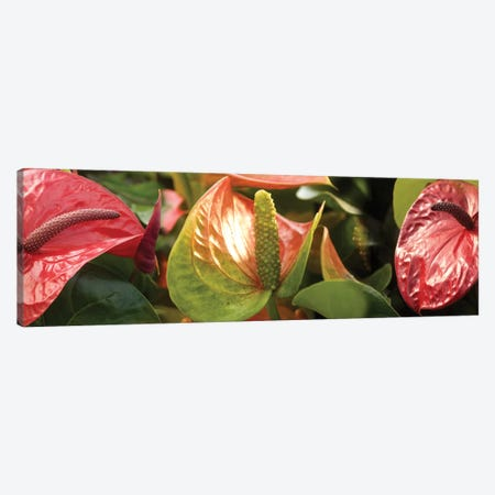 Close-Up Of Anthurium Plant I Canvas Print #PIM14358} by Panoramic Images Canvas Print