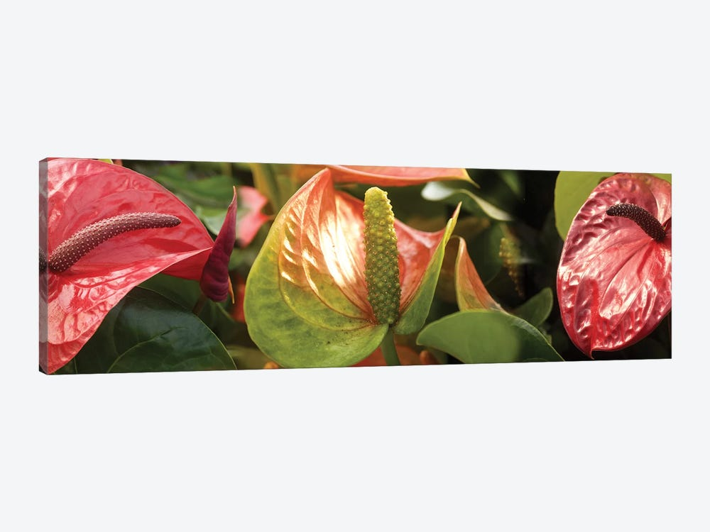 Close-Up Of Anthurium Plant I by Panoramic Images 1-piece Canvas Print