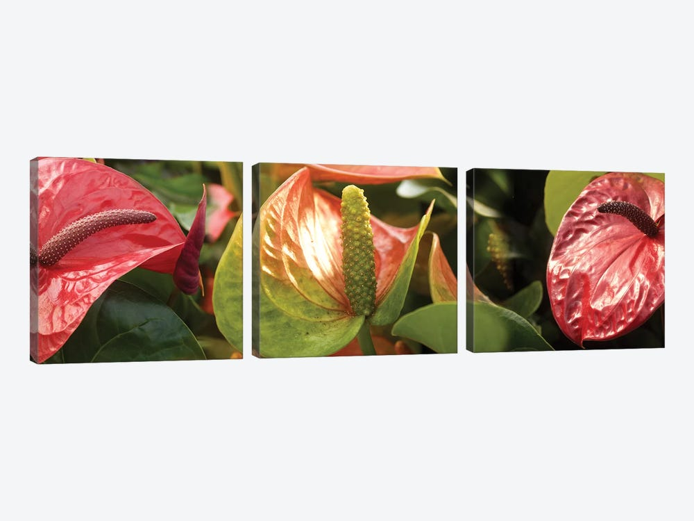 Close-Up Of Anthurium Plant I by Panoramic Images 3-piece Canvas Print