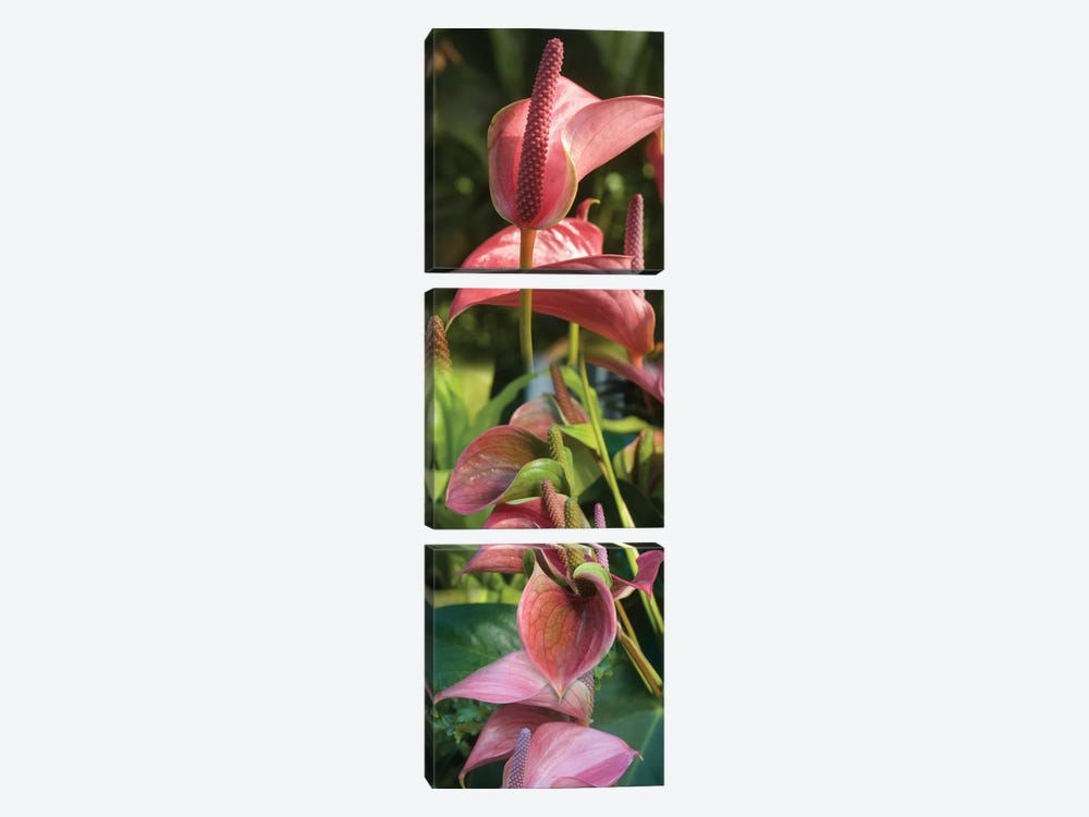 Close-Up Of Anthurium Plant II by Panoramic Images 3-piece Canvas Wall Art