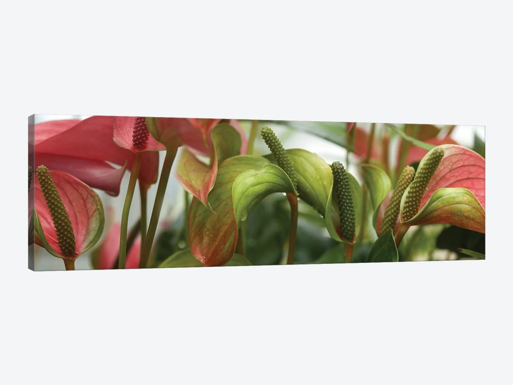 Close-Up Of Anthurium Plant III by Panoramic Images 1-piece Canvas Art
