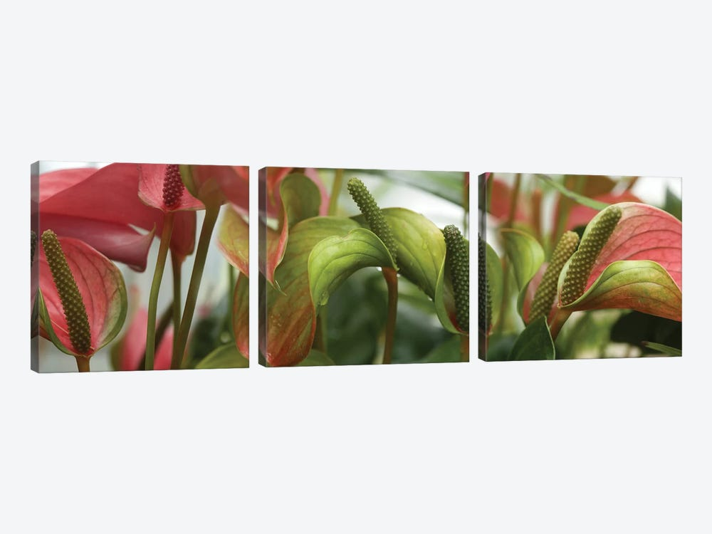 Close-Up Of Anthurium Plant III by Panoramic Images 3-piece Canvas Artwork