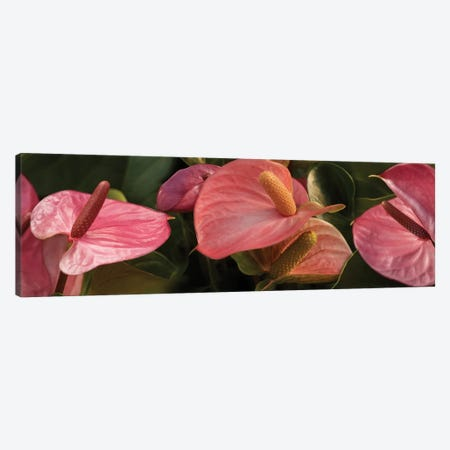 Close-Up Of Anthurium Plant IV Canvas Print #PIM14361} by Panoramic Images Canvas Art