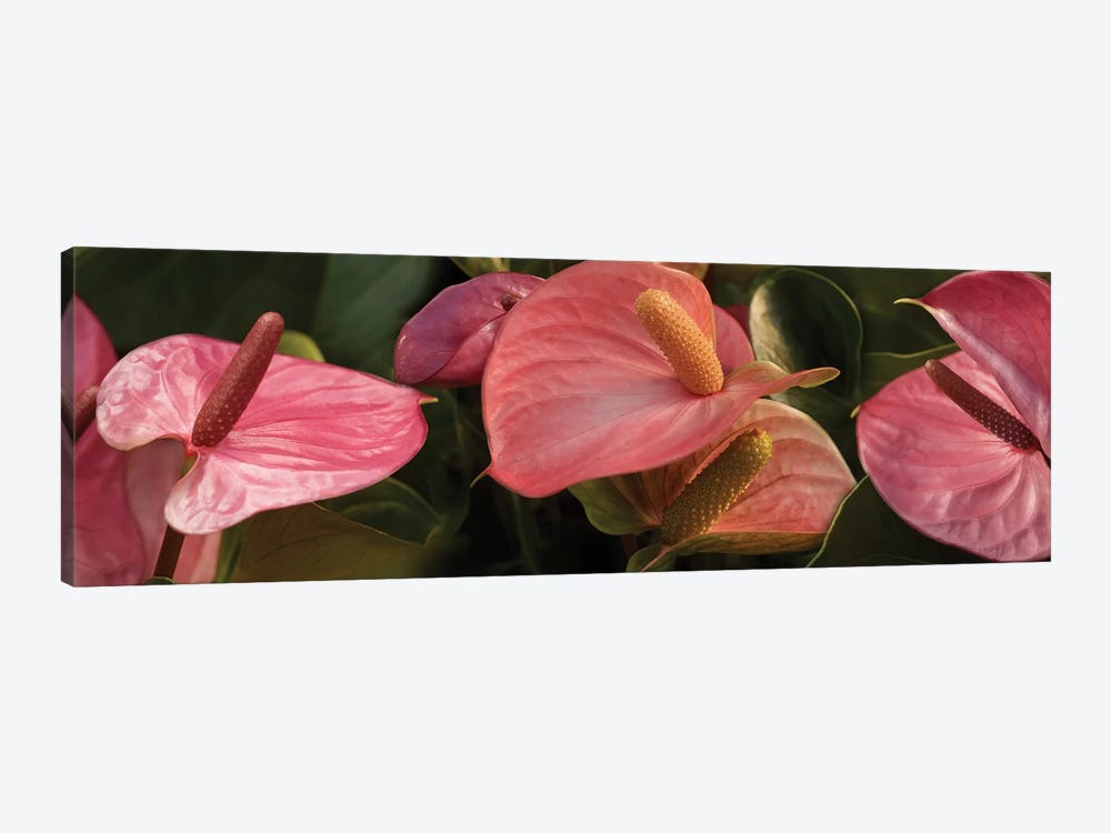 Close-Up Of Anthurium Plant IV by Panoramic Images 1-piece Canvas Art Print