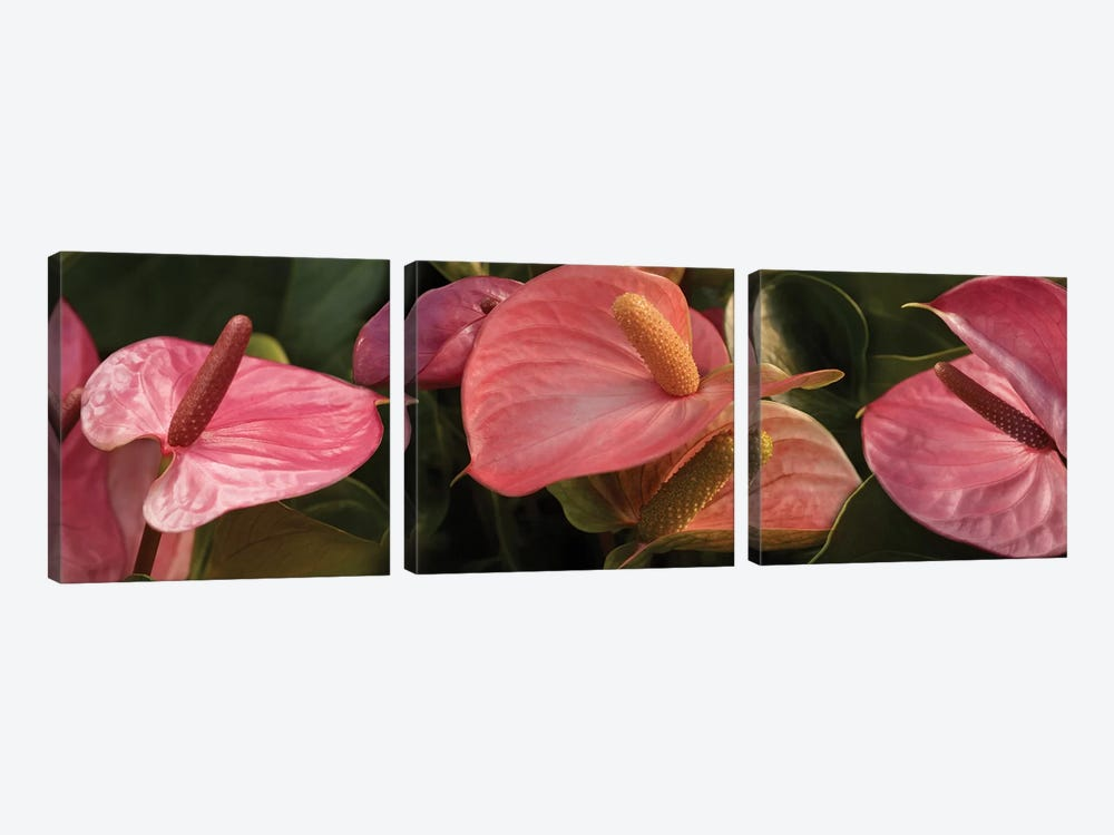 Close-Up Of Anthurium Plant IV by Panoramic Images 3-piece Canvas Art Print