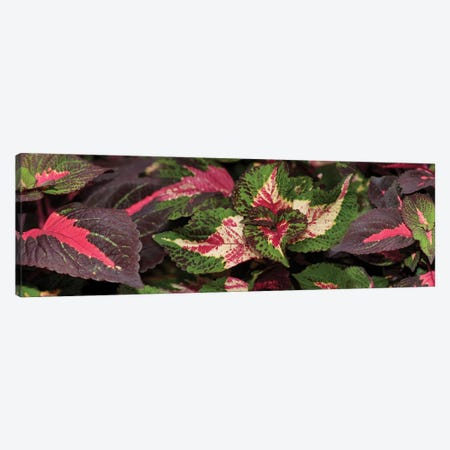 Close-Up Of Assorted Coleus Leaves Canvas Print #PIM14364} by Panoramic Images Canvas Print