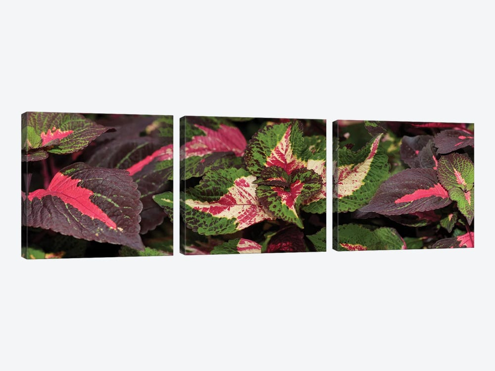 Close-Up Of Assorted Coleus Leaves by Panoramic Images 3-piece Canvas Art