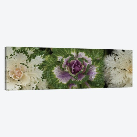 Close-Up Of Assorted Kale Flowers I Canvas Print #PIM14366} by Panoramic Images Canvas Art Print
