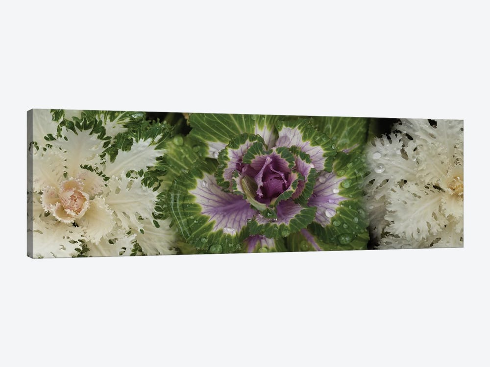 Close-Up Of Assorted Kale Flowers I by Panoramic Images 1-piece Canvas Art