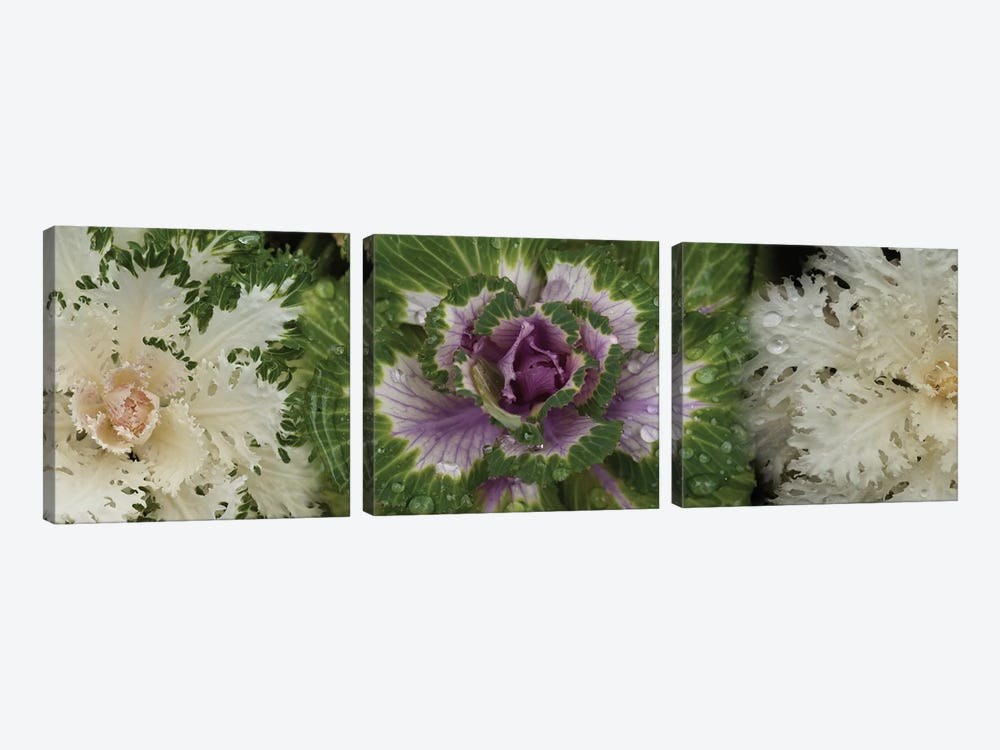 Close-Up Of Assorted Kale Flowers I by Panoramic Images 3-piece Canvas Artwork