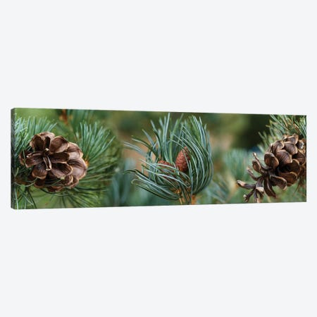 Close-Up Of Assorted Pine Cones Plants Canvas Print #PIM14371} by Panoramic Images Canvas Print