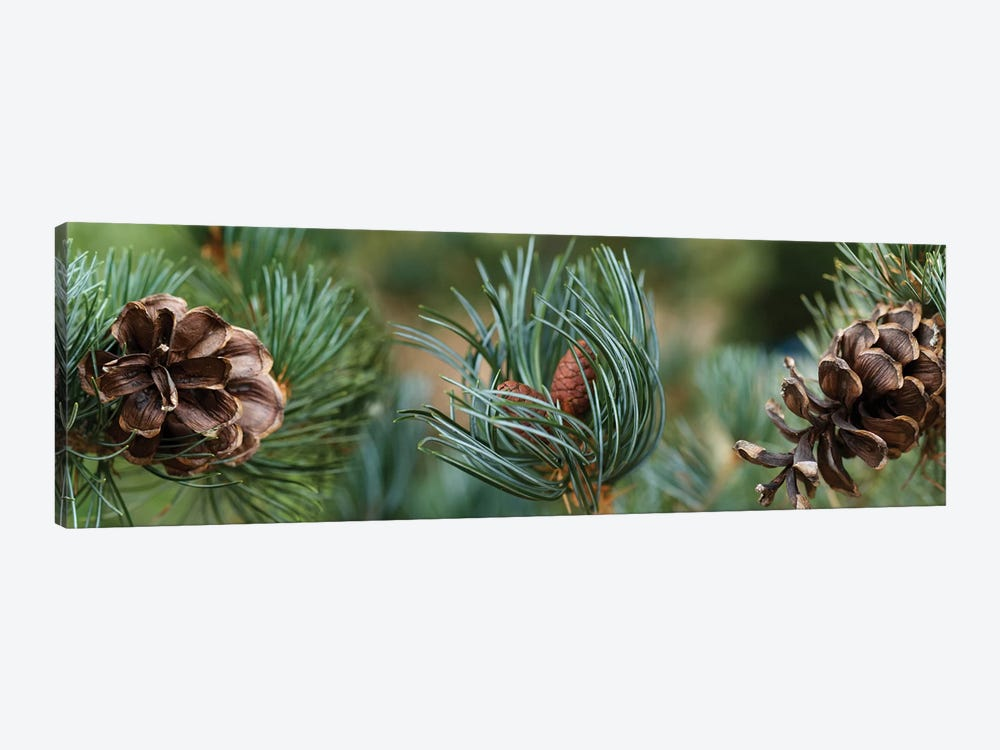 Close-Up Of Assorted Pine Cones Plants by Panoramic Images 1-piece Canvas Artwork