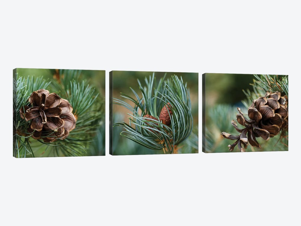 Close-Up Of Assorted Pine Cones Plants by Panoramic Images 3-piece Canvas Artwork