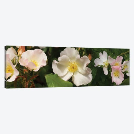 Close-Up Of Assorted Rhododendron Flowers II Canvas Print #PIM14374} by Panoramic Images Canvas Artwork