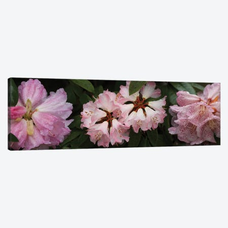 Close-Up Of Assorted Rhododendron Flowers III Canvas Print #PIM14375} by Panoramic Images Canvas Art