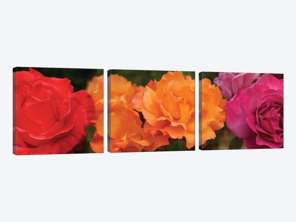 Close-Up Of Assorted Roses by Panoramic Images 3-piece Canvas Artwork