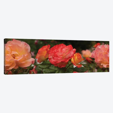 Close-Up Of Begonia And Rose Flowers Canvas Print #PIM14381} by Panoramic Images Canvas Wall Art