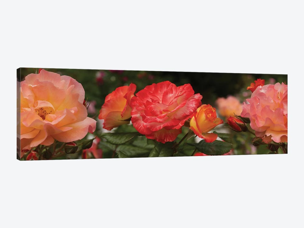 Close-Up Of Begonia And Rose Flowers by Panoramic Images 1-piece Canvas Print